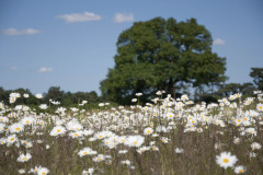 Daisies in the braodbalk field experiment at Rothamsted Estate, Harpenden, Hertfordshire