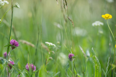 Wild flowers in Park Grass Experiment, Rothamsted, Harpenden, Hertfordshire