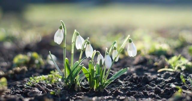 Hearts Milk Bank plants snowdrop heart at Rothamsted